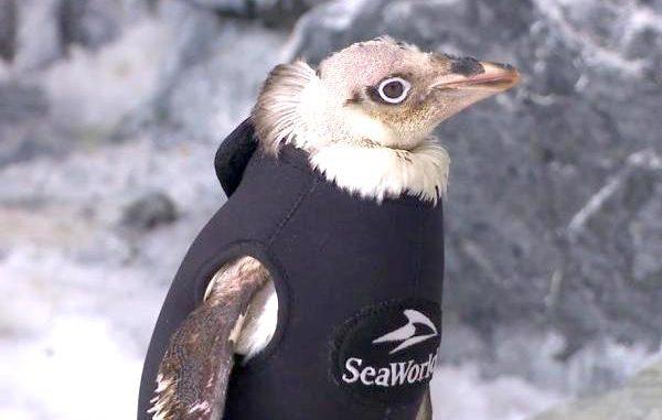 SeaWorld penguin wetsuit unveiled in Orlando.