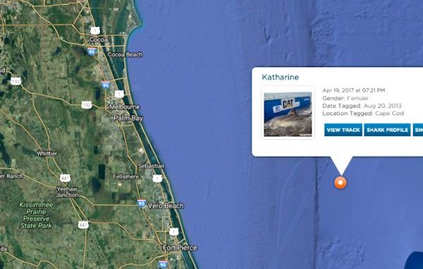 Katharine, a great white shark, makes a visit near Vero Beach.