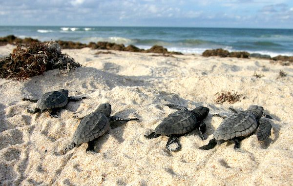If you spot sea turtle hatchlings in Sebastian, Wabasso or Vero Beach, don't try to help them. Leave them be.