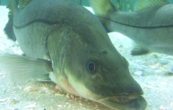 Snook season set to begin in Sebastian and Vero Beach.