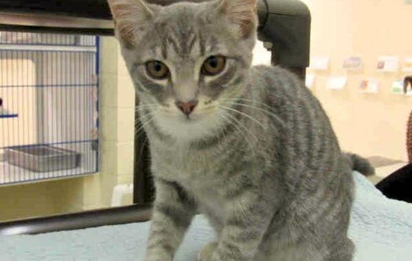 Vero Beach Humane Society waives adoption fees for kittens and cats on August 26.