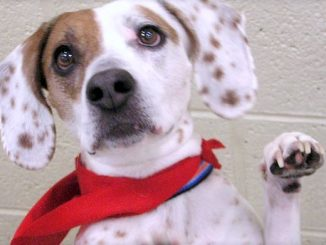 The Humane Society of Vero Beach will begin accepting pets from Puerto Rico for foster care.