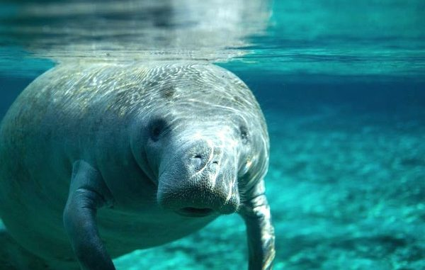 November is manatee month in Sebastian and Vero Beach.