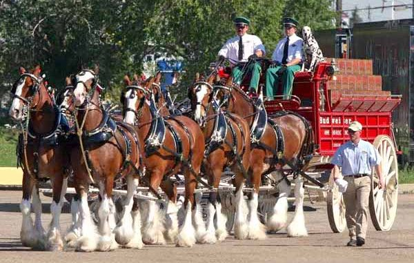 The Budweiser Clydesdales are coming to Vero Beach, Florida.