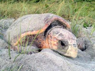 Sea turtles will begin their nesting season in Sebastian and other areas on March 1 and lasts through the end of October. Image credit: FWC