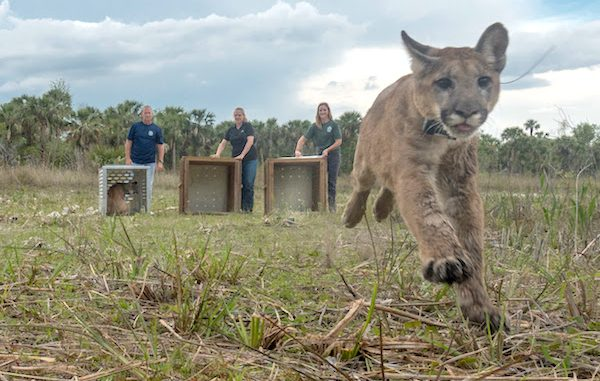 Panther family returns to the wild. Photo by Carlton Ward Jr. in partnership with FWC.