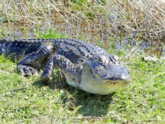 FWC urges people to keep their distance if they see an alligator.