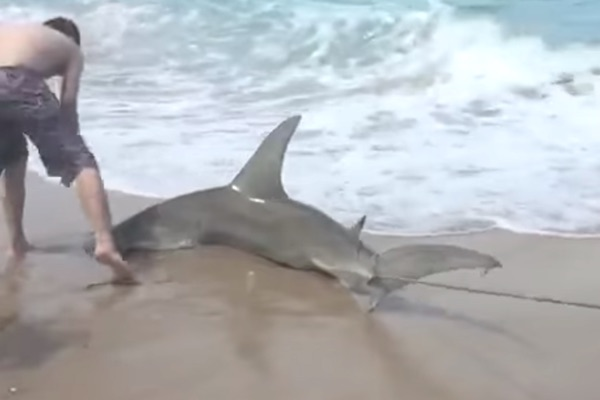 Fwc gathering public input on local shore based shark for Shark fishing from shore