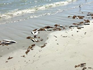 Red Tide cleanup expected this weekend at Sebastian Inlet and Vero Beach, Florida.