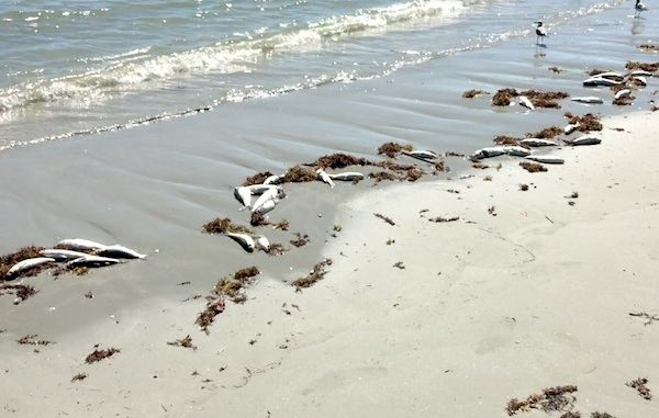 Red Tide Cleanup Expected This Weekend At Sebastian Inlet And Vero Beach Florida