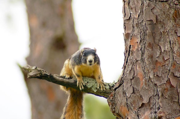 Southern fox squirrel. FWC photo by Steve Glass.