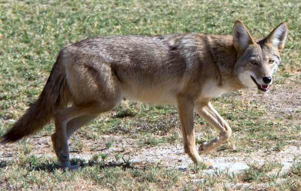Coyotes have been a big topic of discussion in Sebastian, Florida.