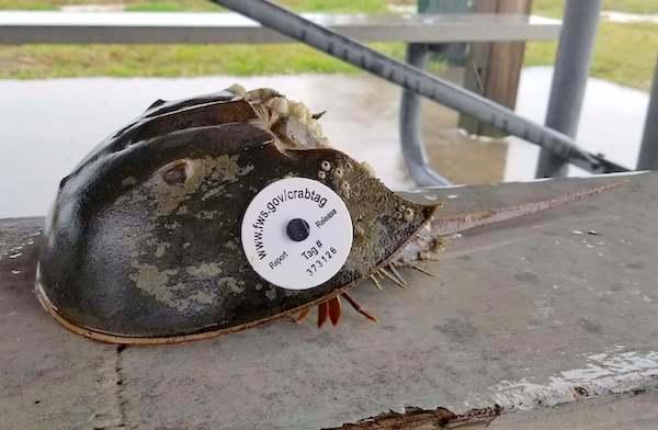 tagged-horseshoe-crab