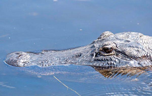 Alligator tips in Sebastian, Florida. (Photo by Andy Wraithmell/FWC)