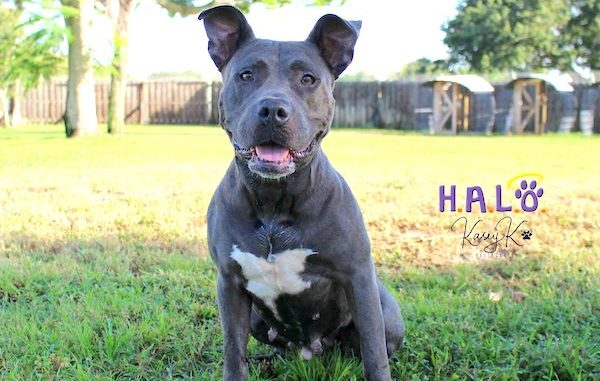 Nilla is a 4-year-old Blue Pit Bull at HALO Rescue in Sebastian, Florida.