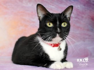 Lolita is a cat at HALO No-Kill Rescue Shelter in Sebastian, Florida.