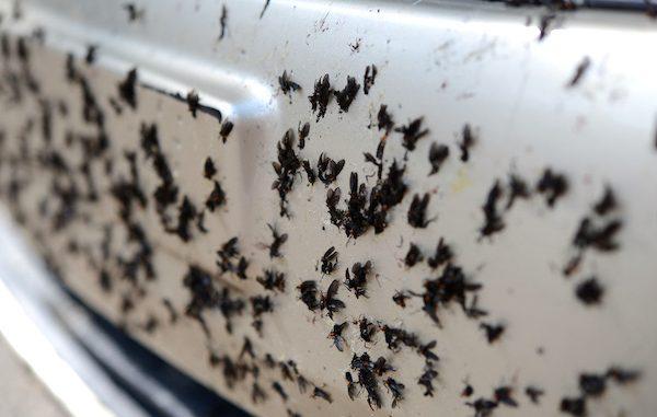 Love bugs invade Sebastian, Florida.