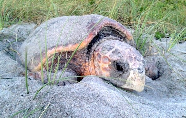 Sea turtles lay eggs during the months of June and July in Sebastian, Florida.