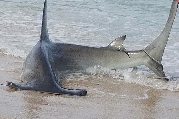 A shark caught near the Sebastian Inlet State Park.
