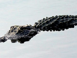 An alligator was found dead with a severed tail in Sebastian, Florida.