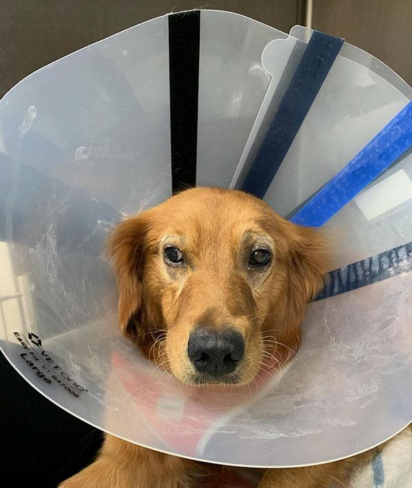 Ellie after cataract surgery.