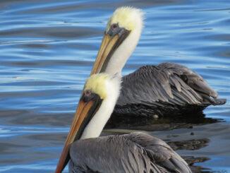 Pelicans in Sebastian, Florida.