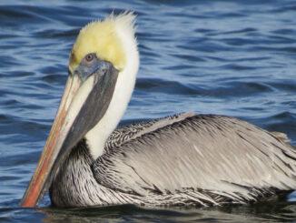 Brown Pelican in Sebastian, Florida.
