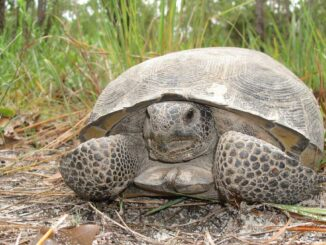 Gopher Tortoise (Credit: FWC)