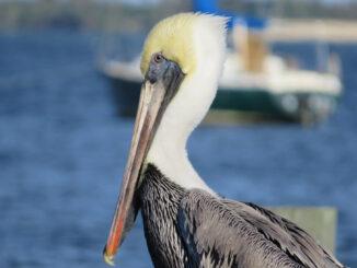 Pelican and sailboat