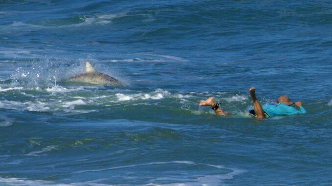 Sharks swim around Sebastian Inlet surfer. (Photo by Laura Evans)